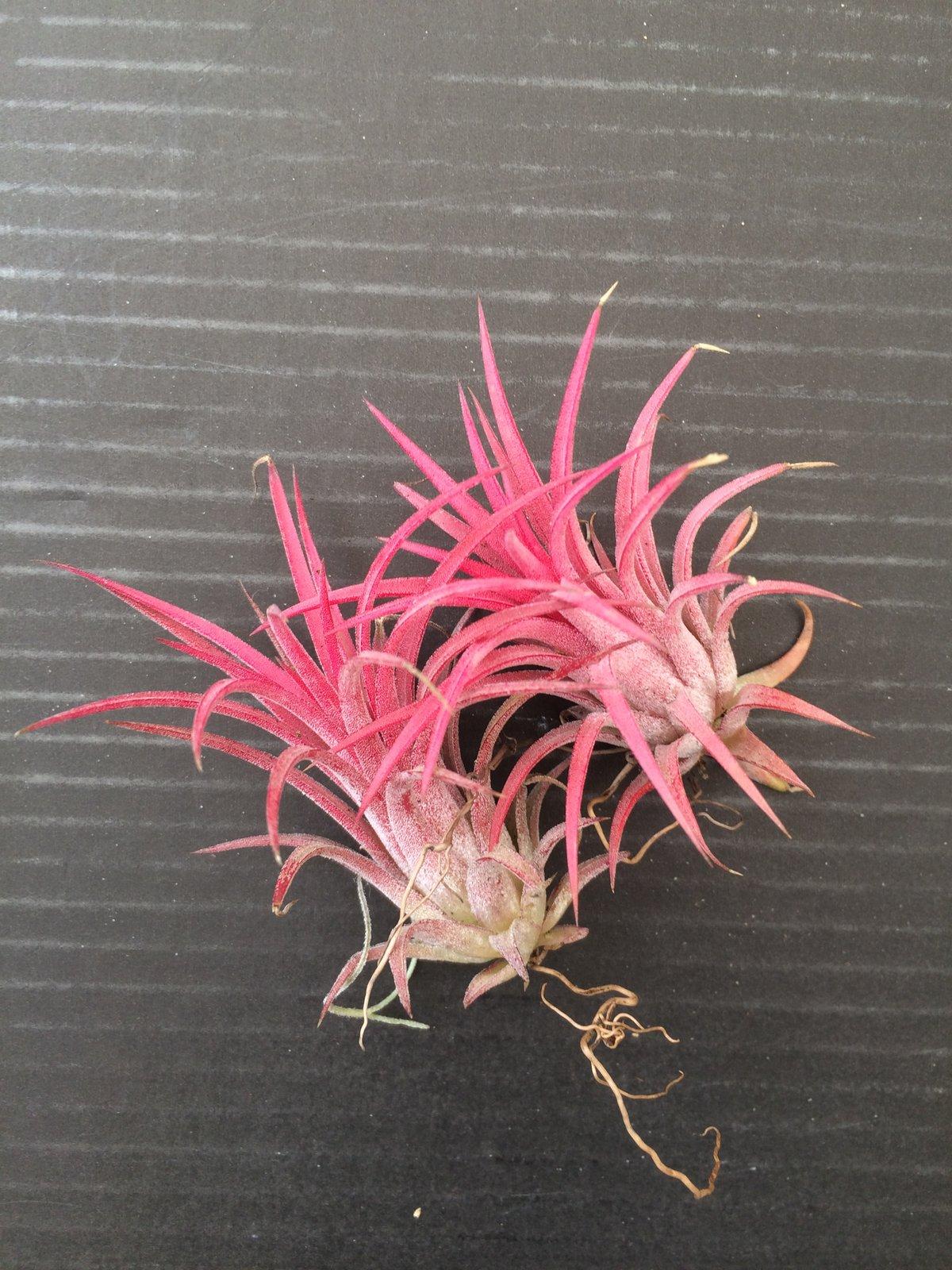 Image of Tillandsia ionantha red