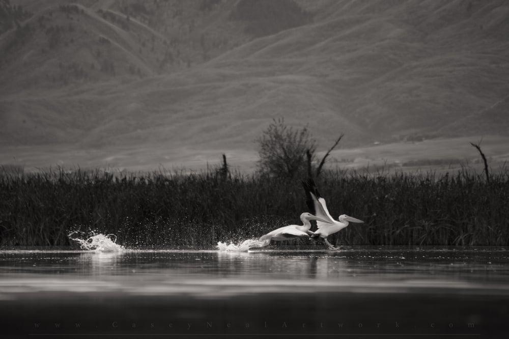 Image of Pelicans In Flight