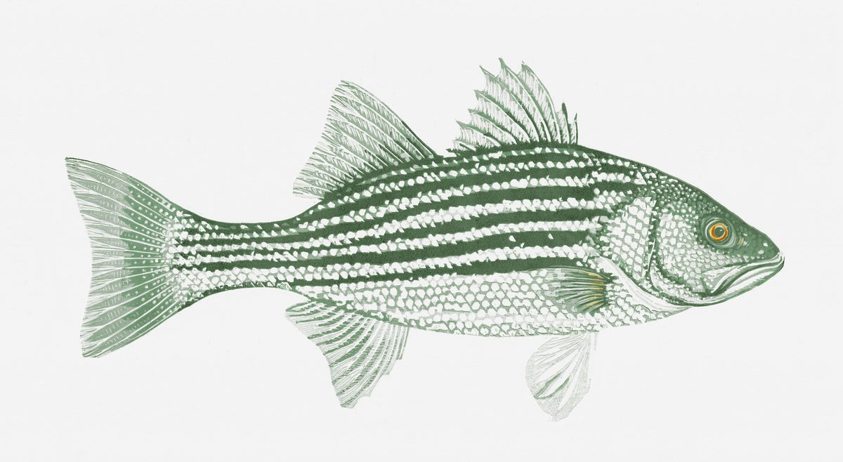 Image of Atlantic Striped Bass (Digital Archival Print)