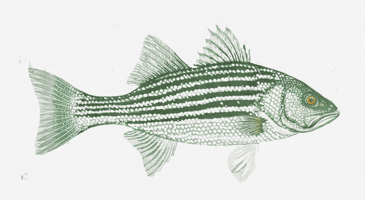 Image of Atlantic Striped Bass Woodblock Print