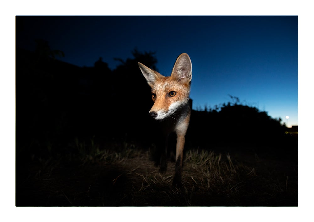 Image of Night Fox