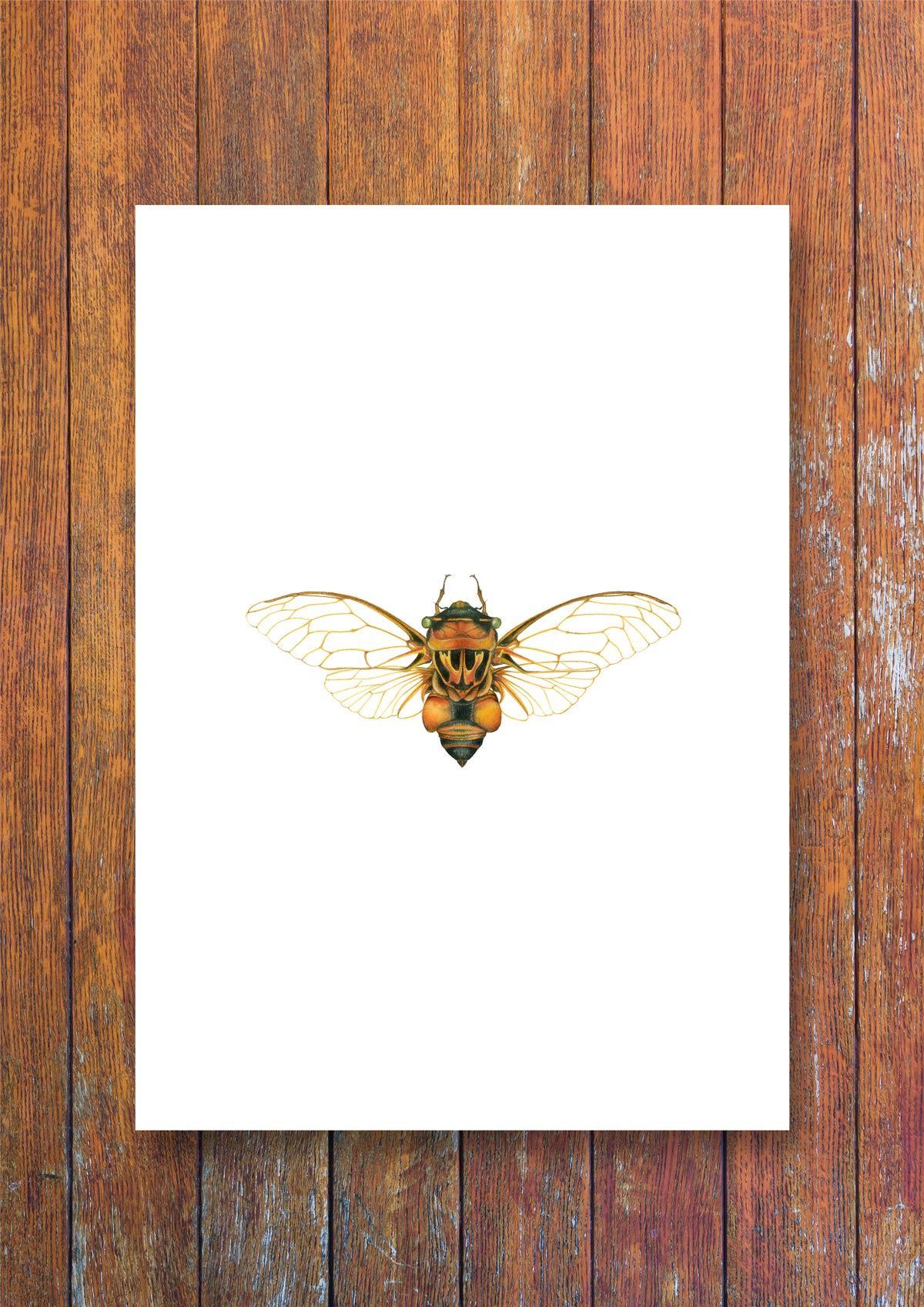 """Australian Cicada"". Natural history fine art print of a watercolor painting of thopha saccata."