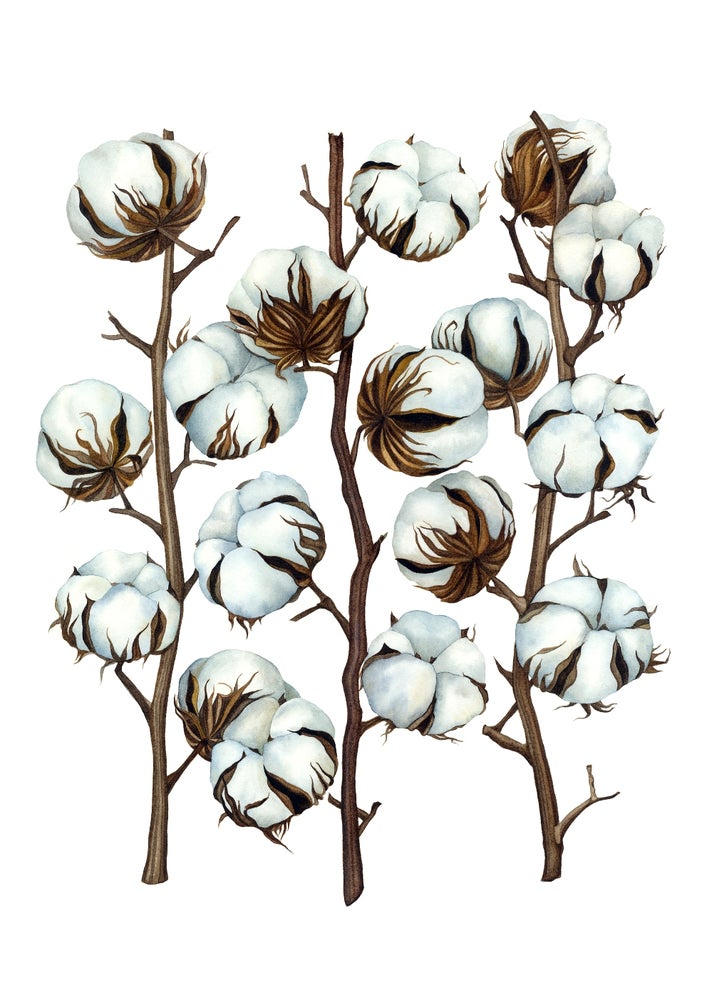 """Soft Cotton"".  Fine art print of a botanical watercolor painting."