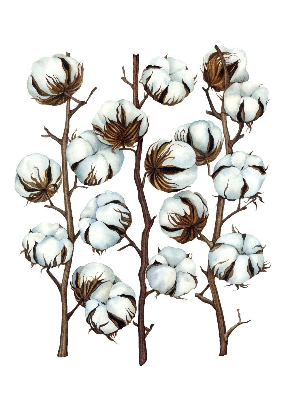 Image of Cotton