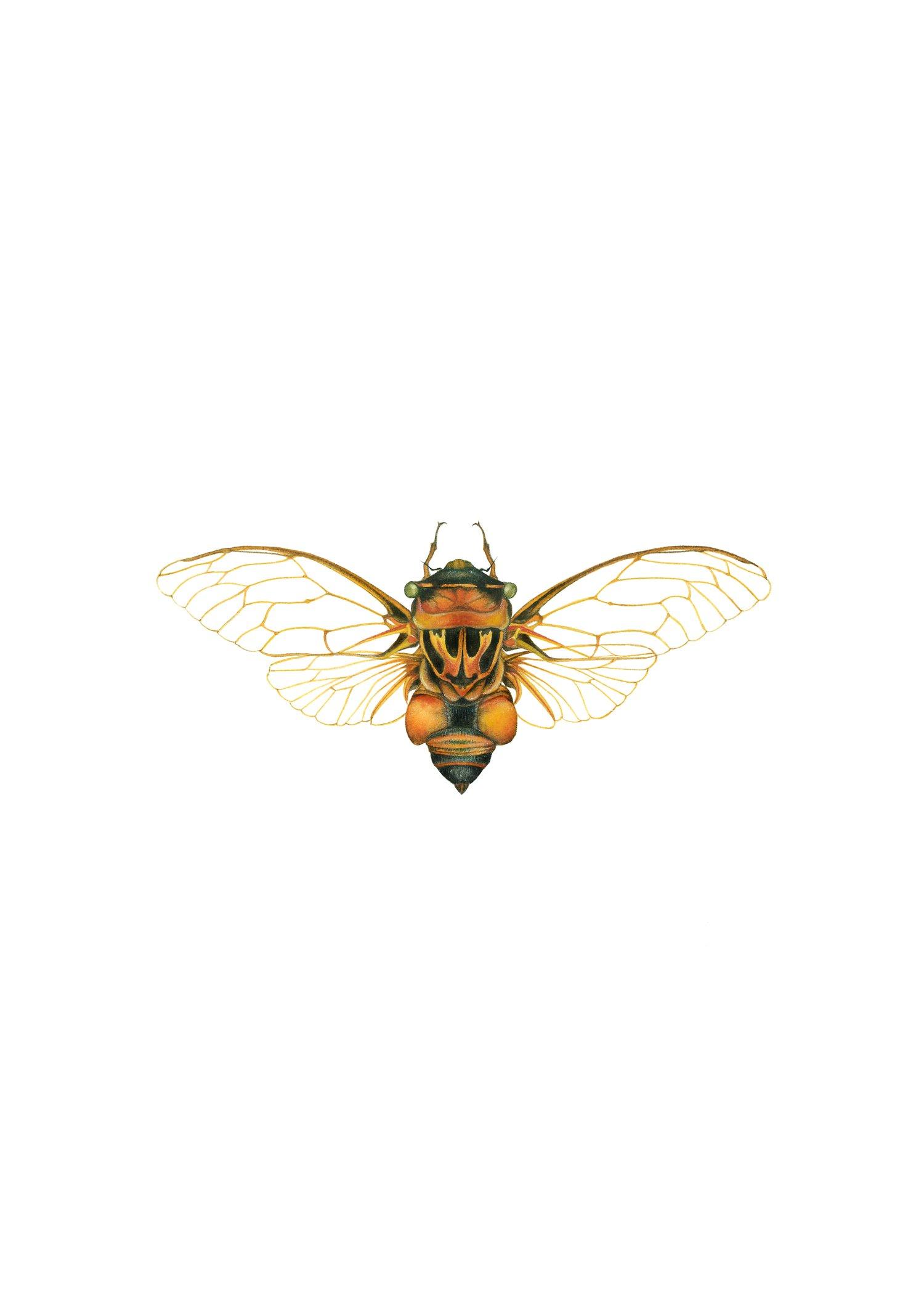 Image of Australian Cicada