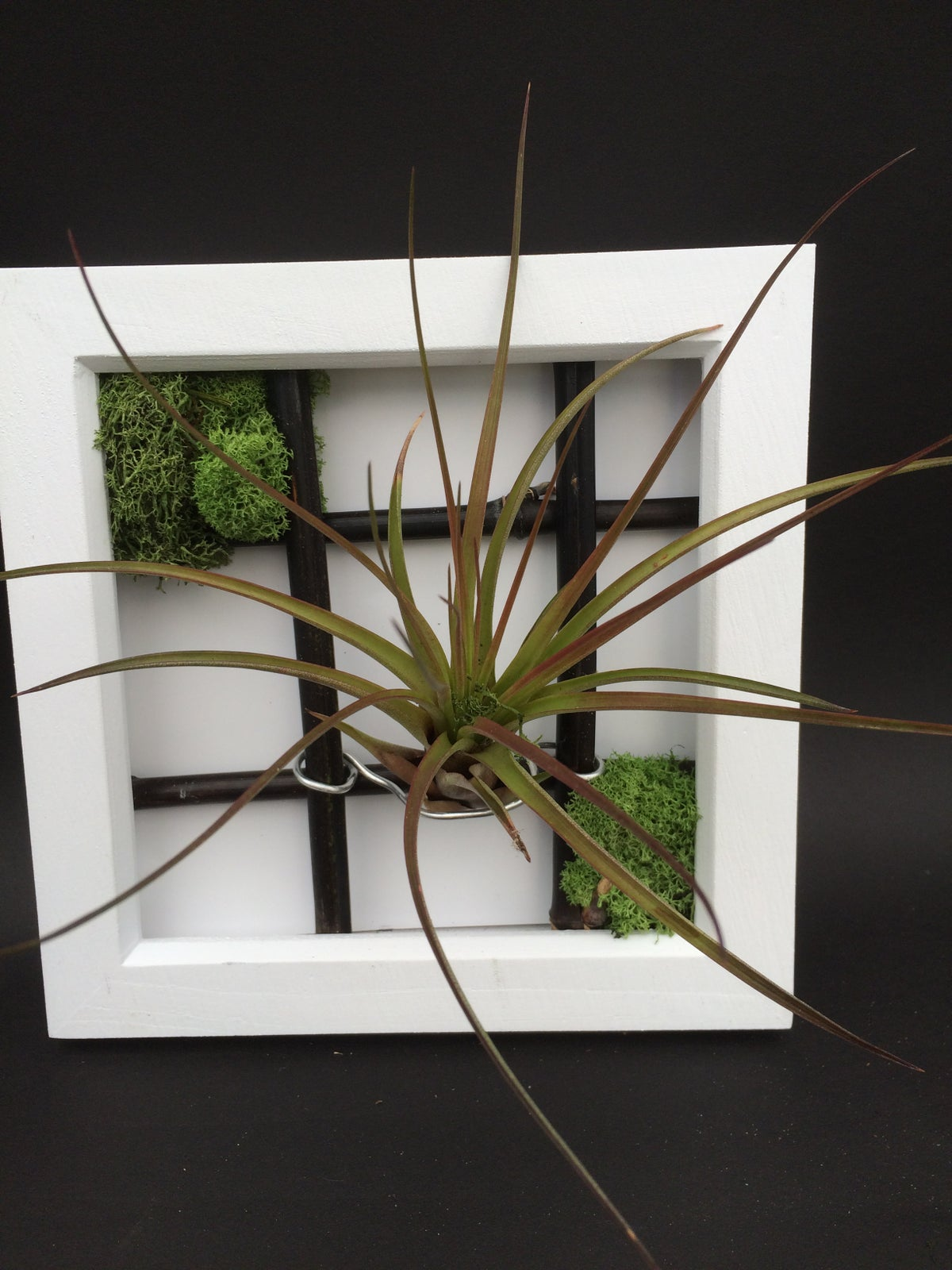 Image of Tillandsia in frame Large