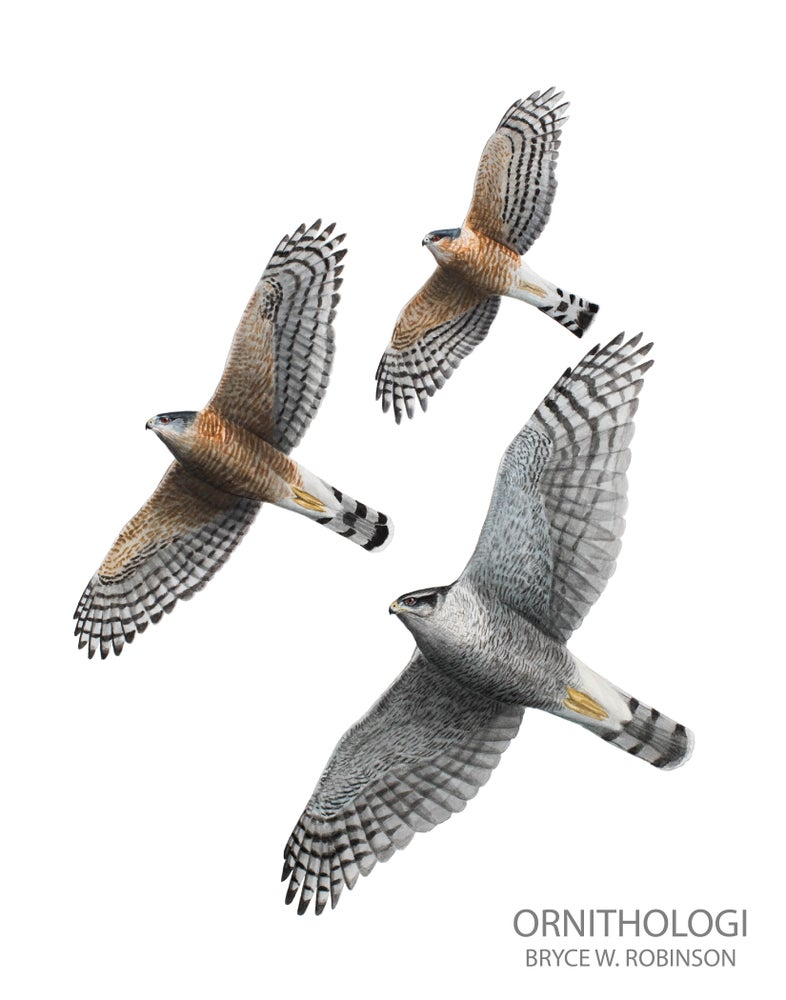"""Image of 5x7"""" Note Cards: Adult Accipiters of North America"""