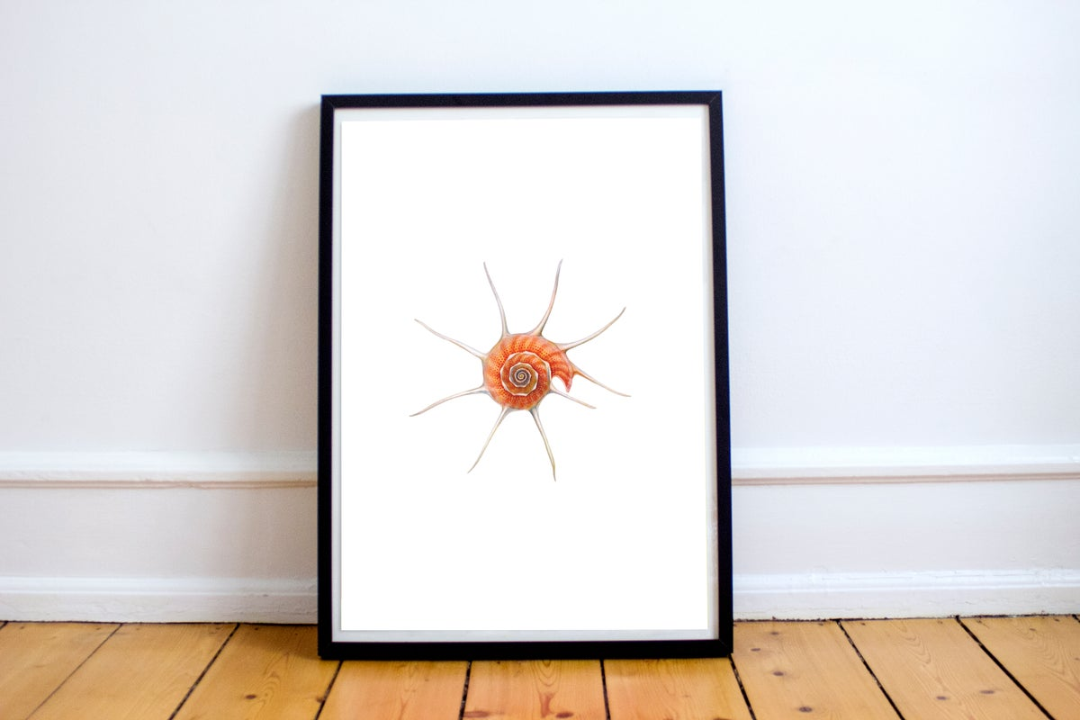"""Yoka Star Turban"". Fine art print of a rare deep-water seashell."