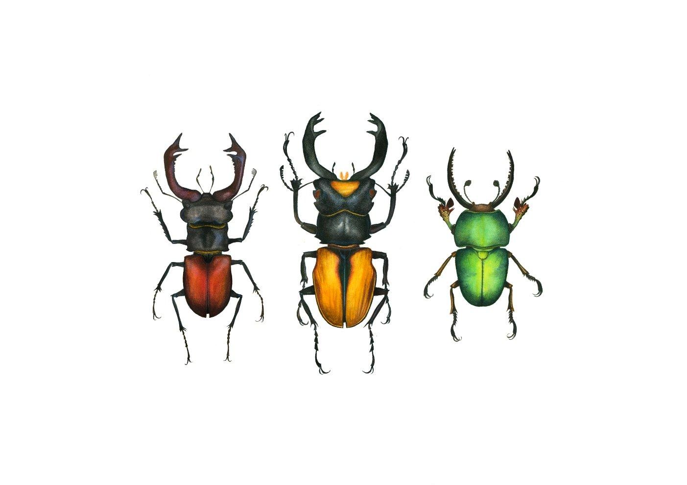 Image of Lucanidae Beetles