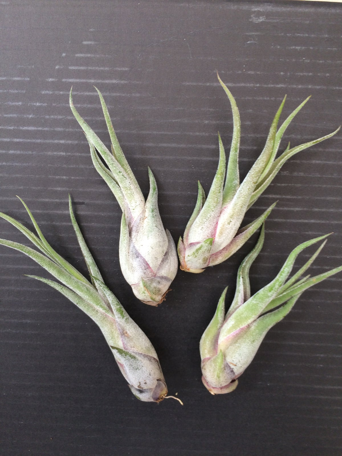 Image of Tillandsia mix special offer