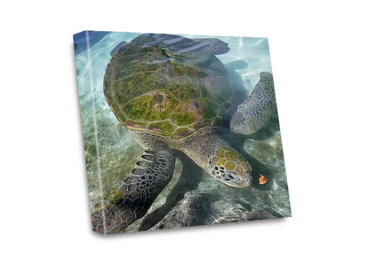 Image of Green Sea Turtle Canvas