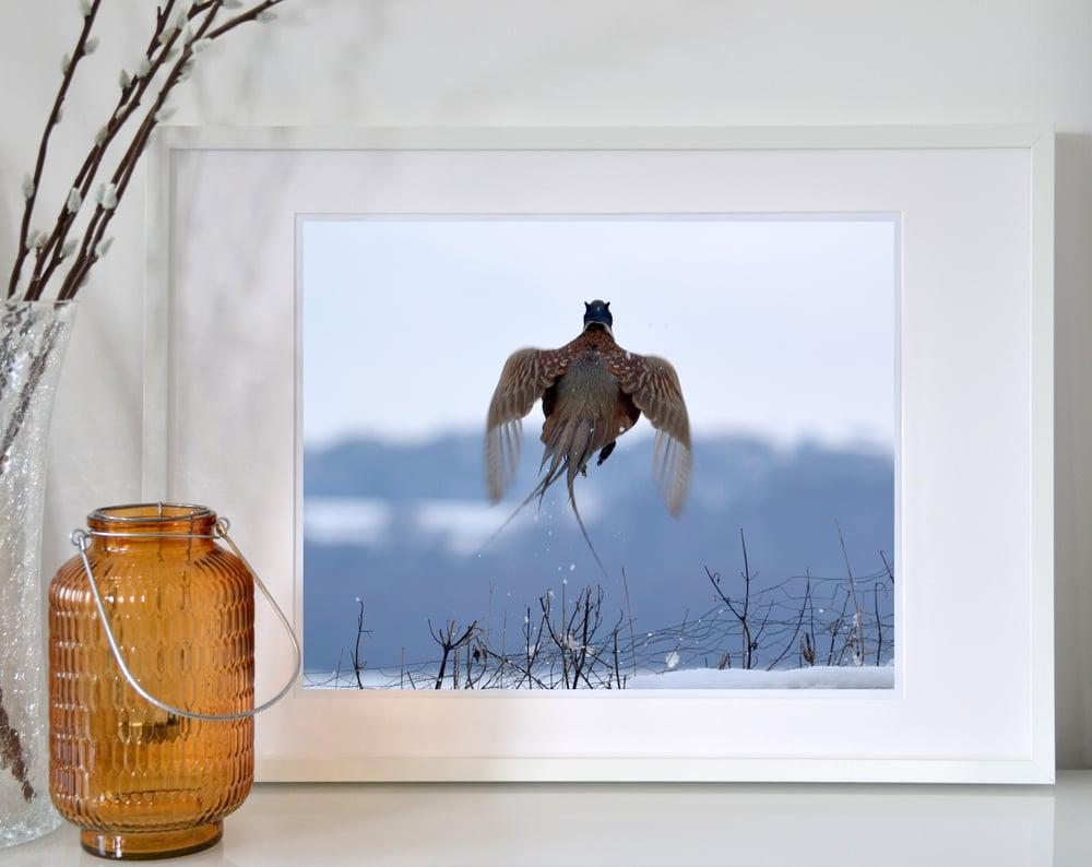 Image of Pheasant in flight