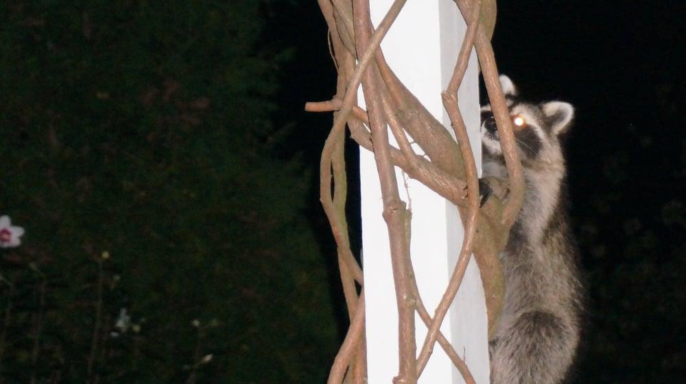 Image of racoon