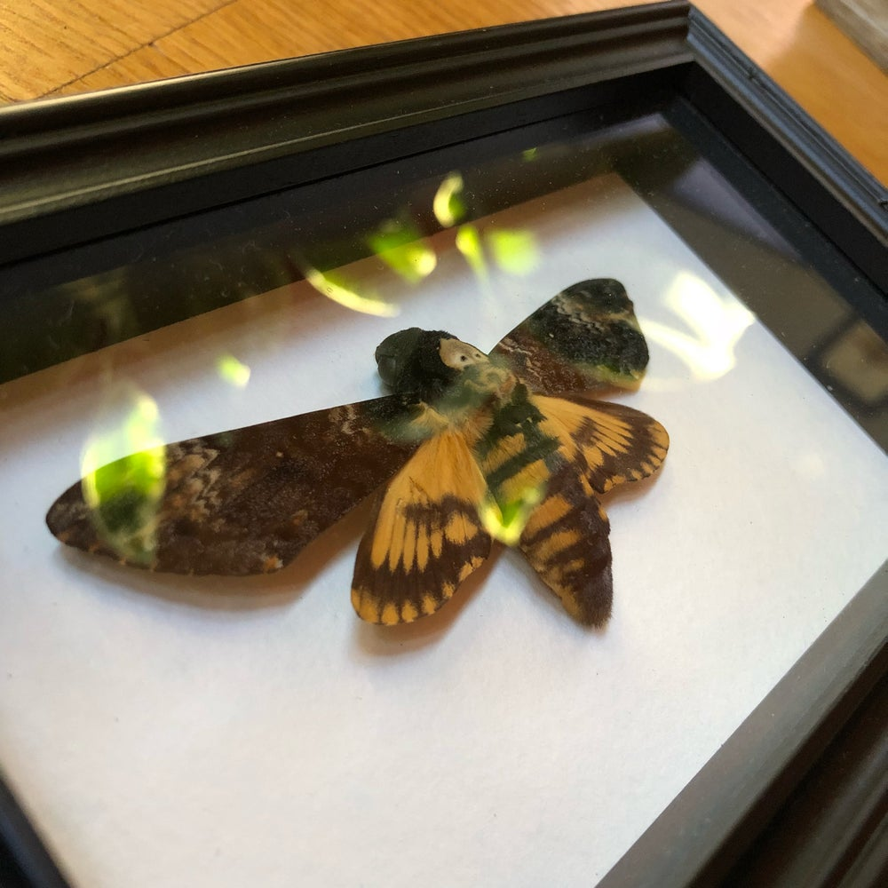 Image of Acherontia Atropos - deaths head moth