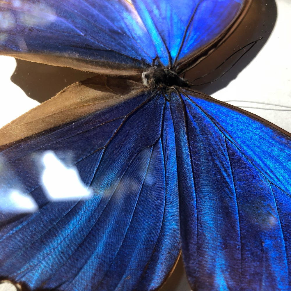 Image of Giant Blue Morpho Butterfly