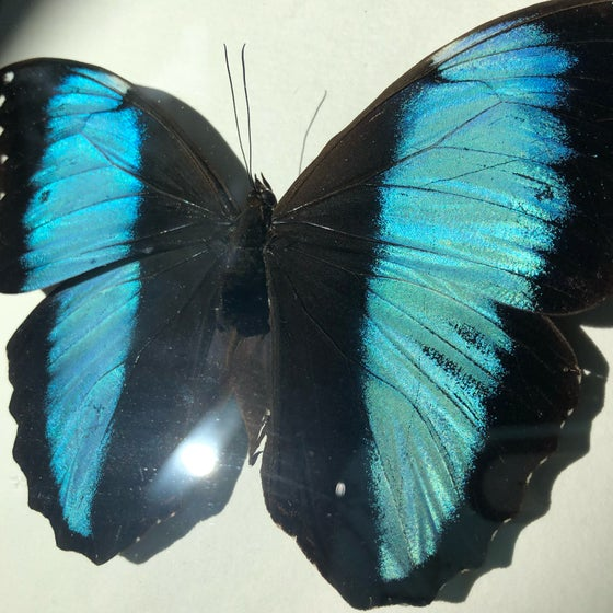 Image of Common Blue Morpho Butterfly