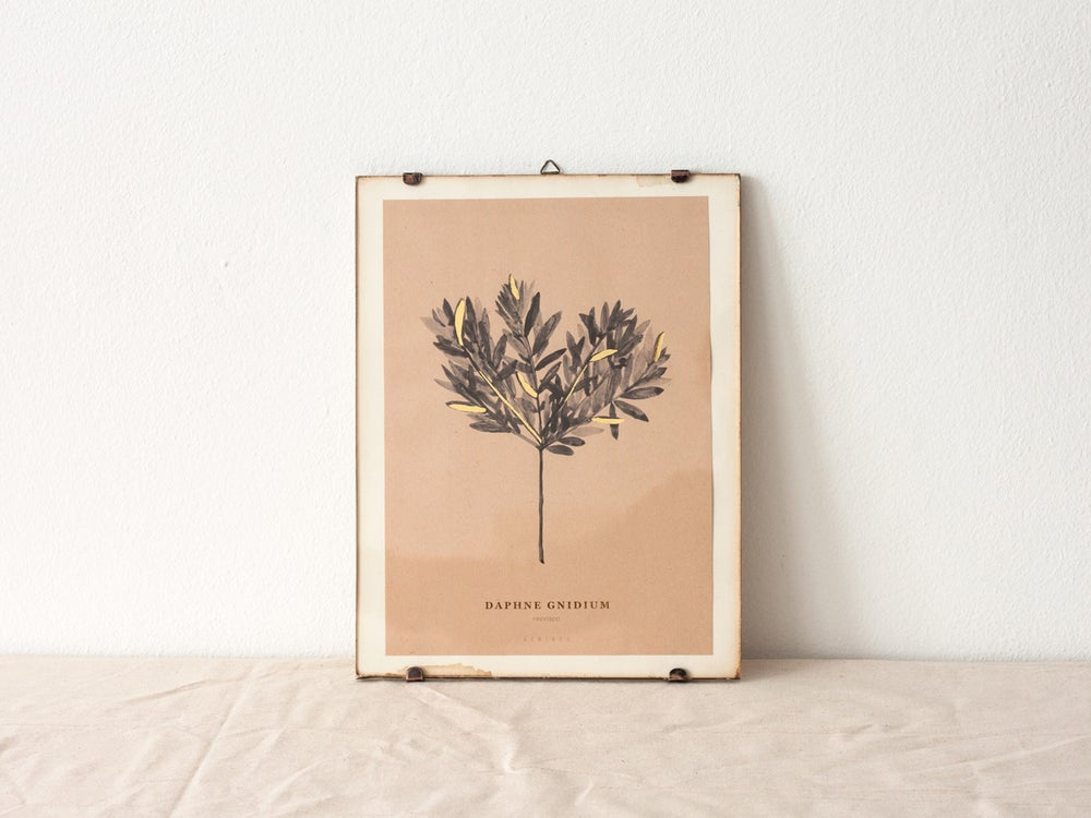 Image of Daphne Gnidium - botanic art print
