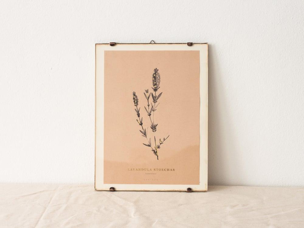 Image of Lavandula Stoechas - wild lavender