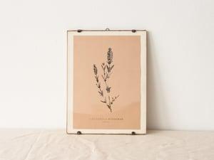 Lavandula Stoechas - wild lavender  - arminho