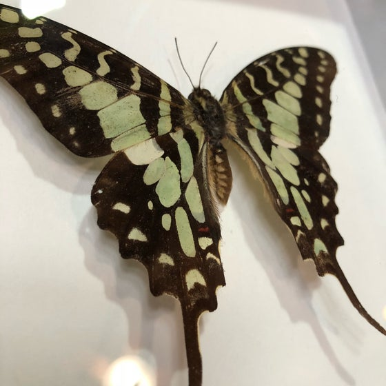 Image of Green and Black Swallowtail