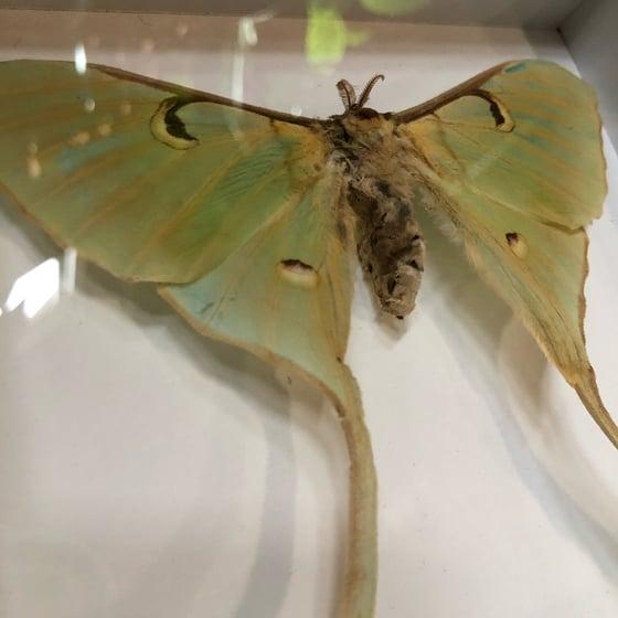 Image of Malaysian Moon Moth 1