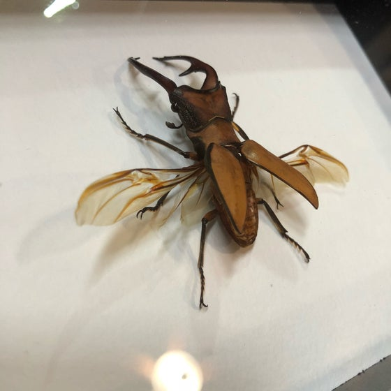 Image of Stag Beetle - C