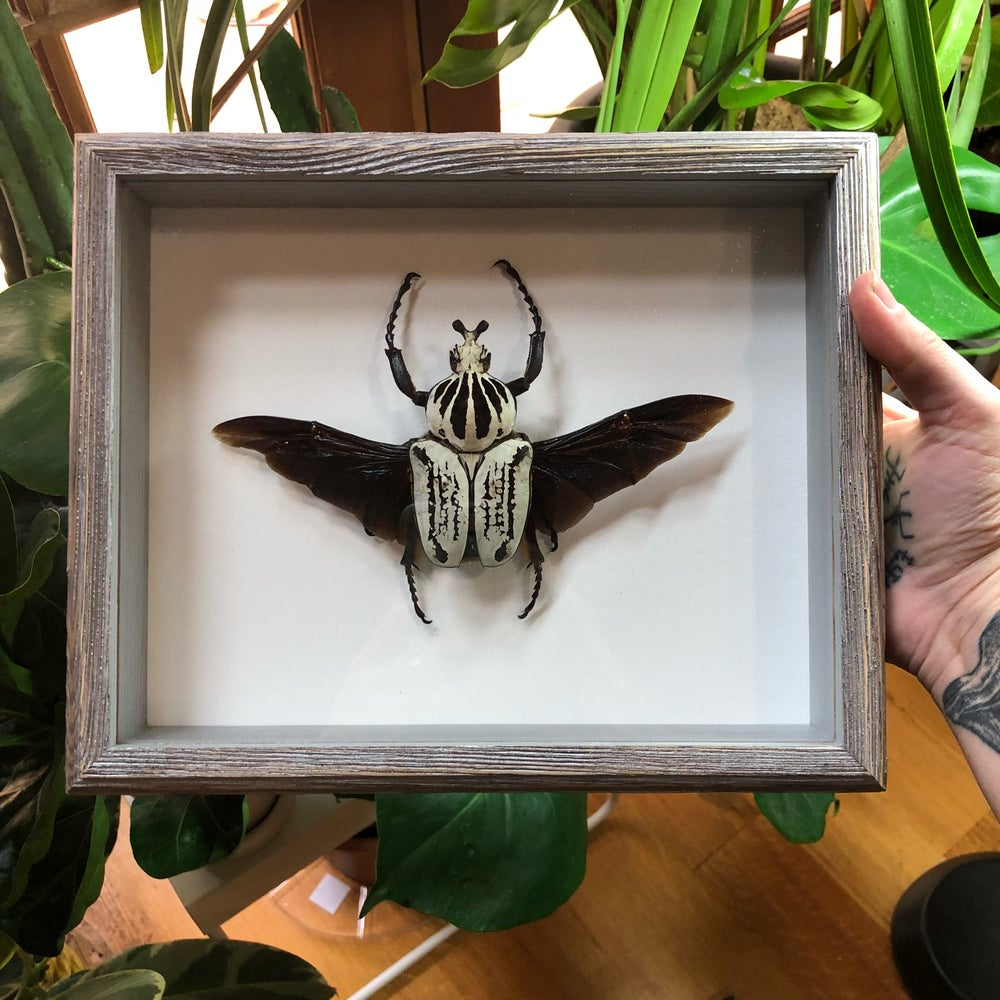 Image of GOLIATH BEETLE 2