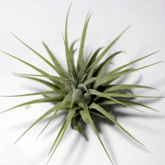 Image of ionantha