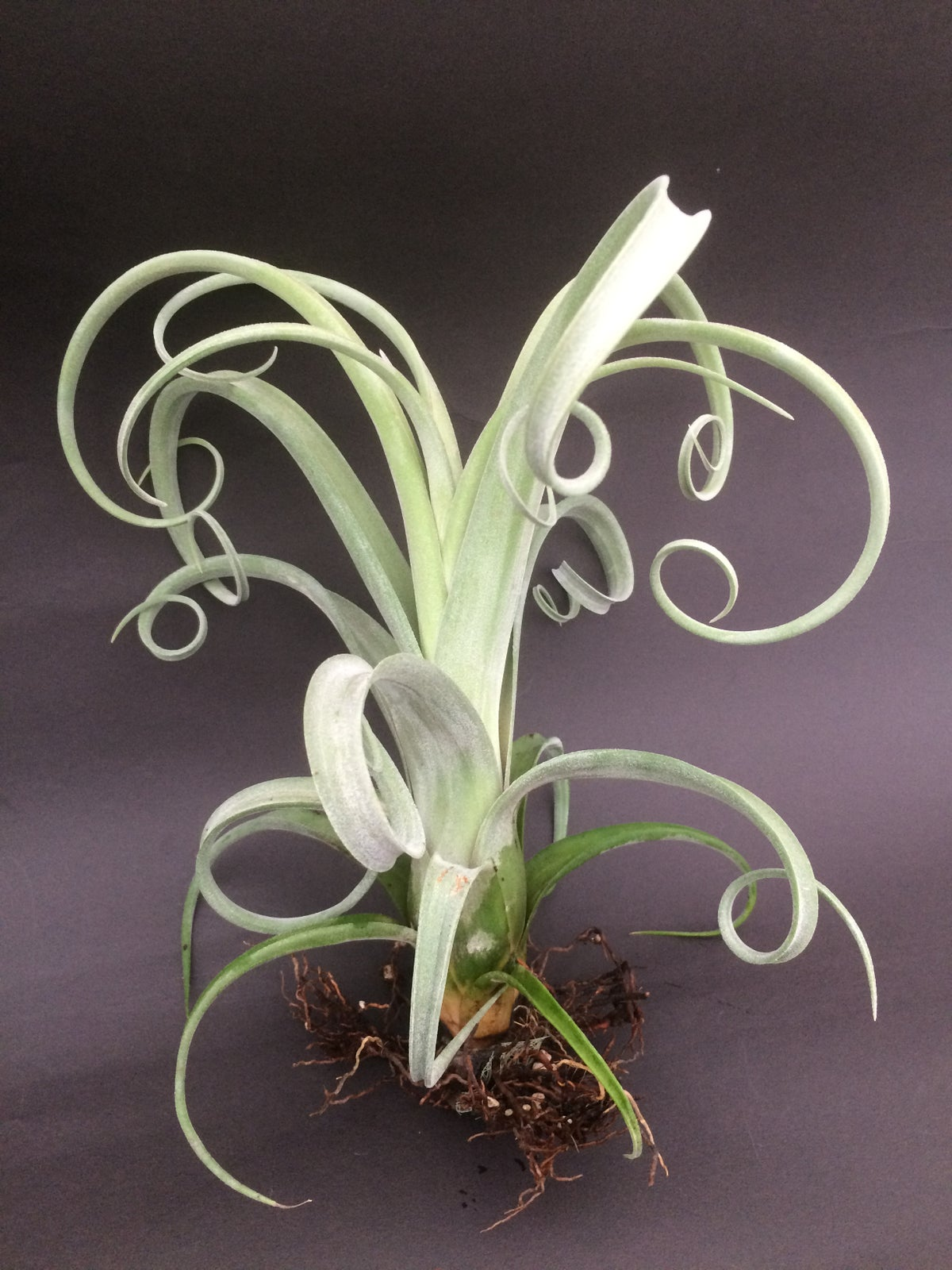 Image of Tillandsia Curly Slim