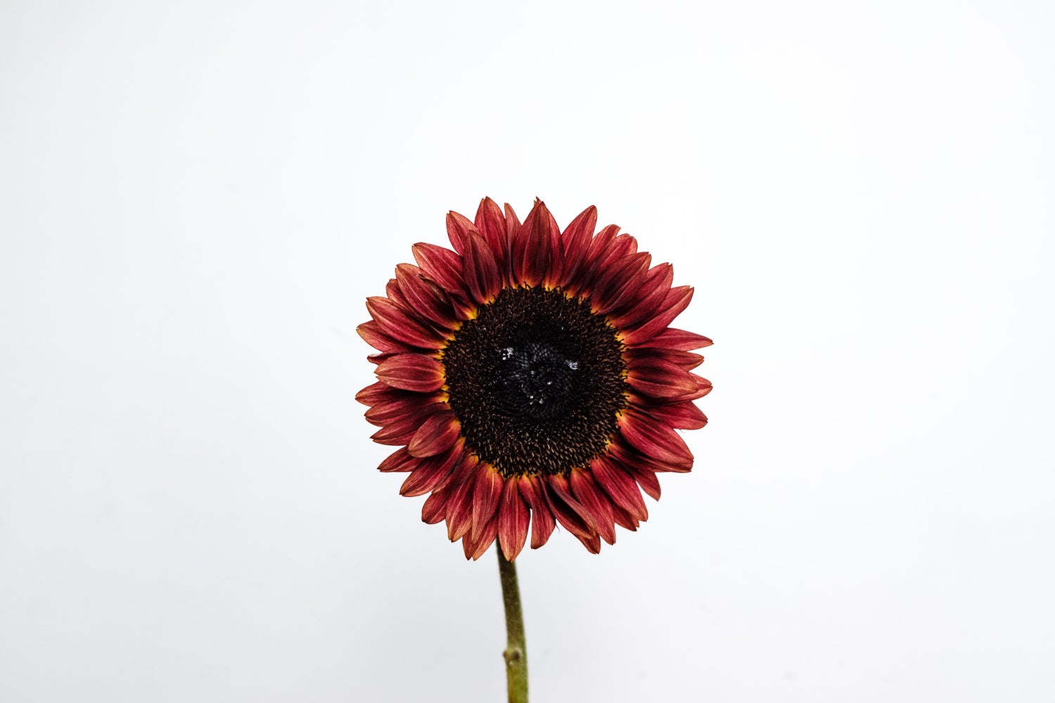 Image of Chocolate Sunflower Fine Art Print
