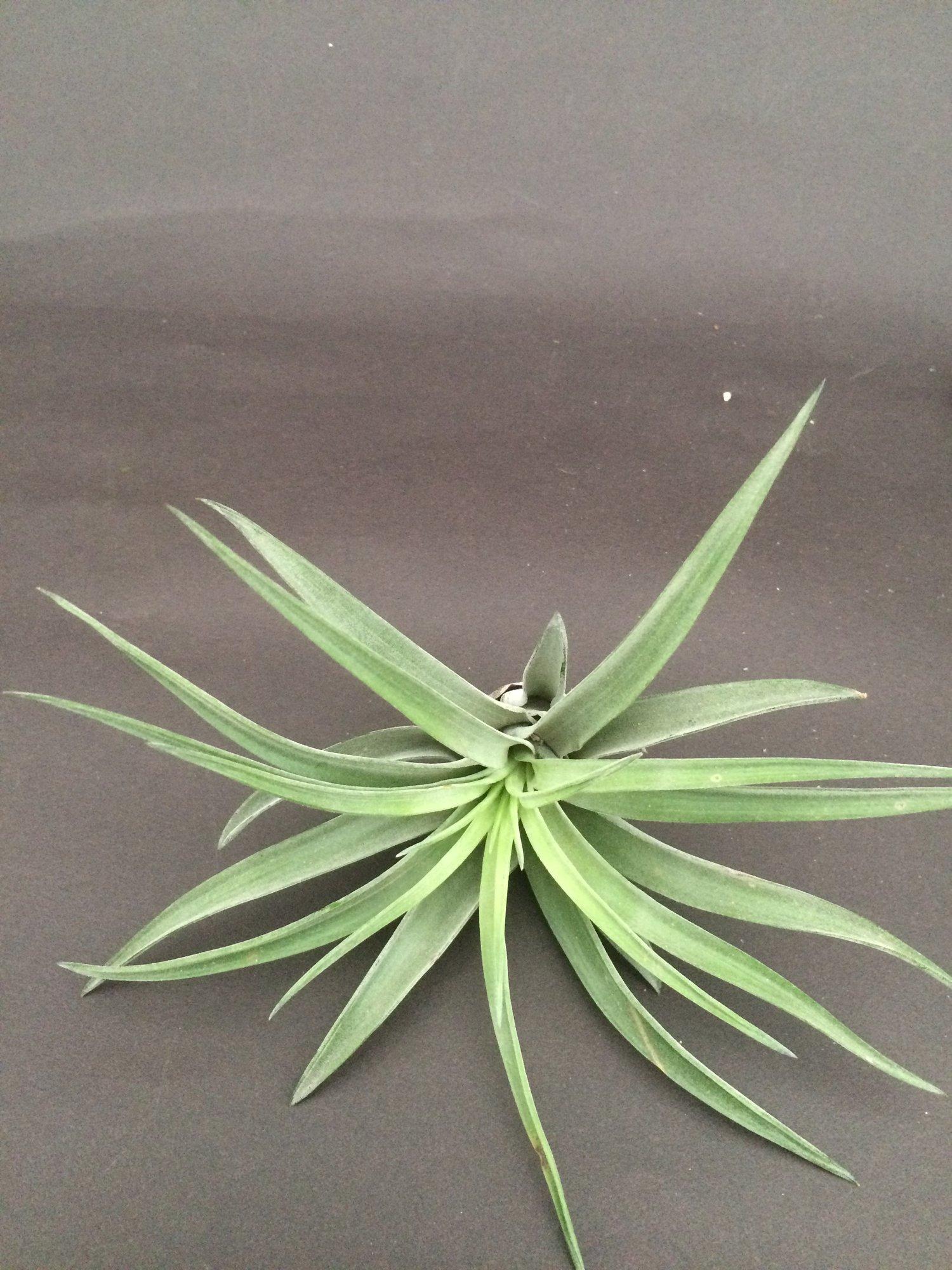Image of Tillandsia brachycaulos