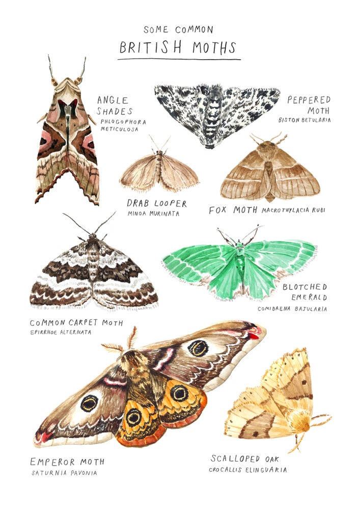 Image of Some Common British Moths Poster