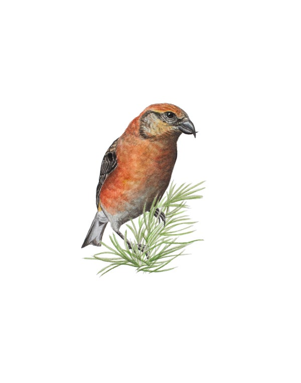"Image of 11x14"" Limited Giclee Print: Male Cassia Crossbill (Loxia sinesciuris)"