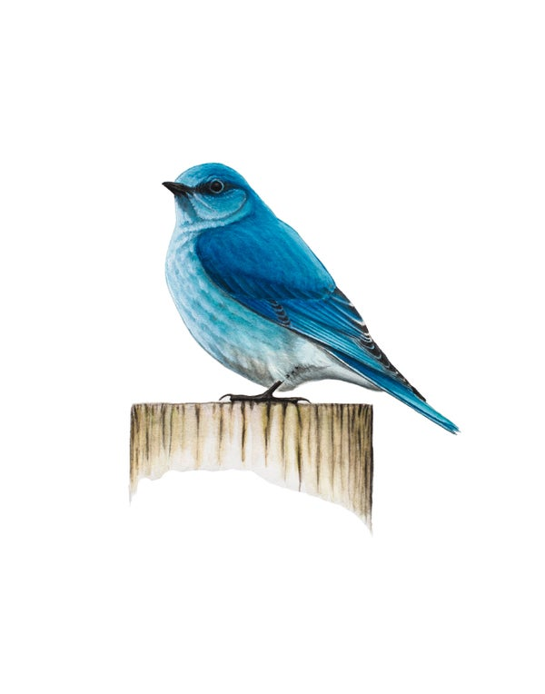 "Image of 11x14"" Limited Giclee Print: Male Mountain Bluebird (Sialia currucoides)."