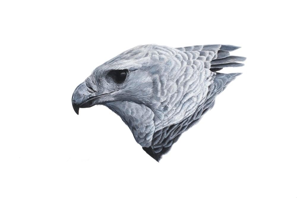 "Image of 11x14"" Limited Giclee Print: Harpy Eagle (Harpia harpyja)"