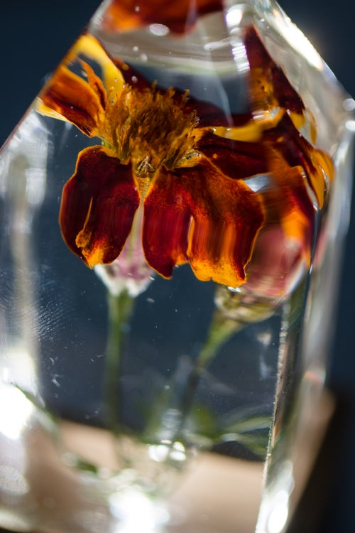 Image of French Marigold (Tagetes patula) - Floral Light #4