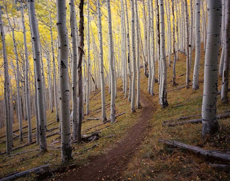 Image of Golden Aspen Trail, San Francisco Peaks, Arizona