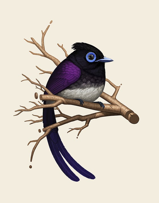 Image of Japanese Paradise Flycatcher