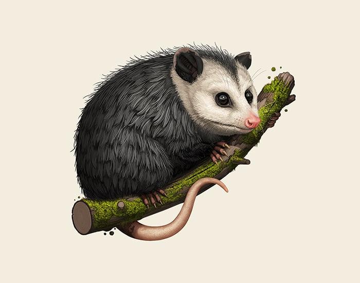 Image of Virginia Opossum