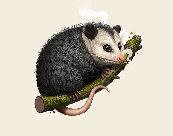 Image of Virginia Opossum (variant)