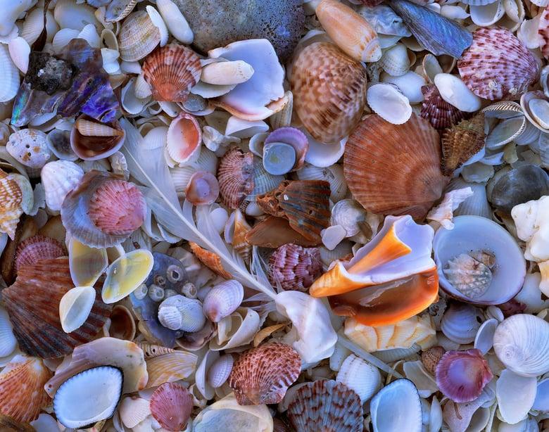 Image of Shell Collection, Sanibel-Captiva, Florida
