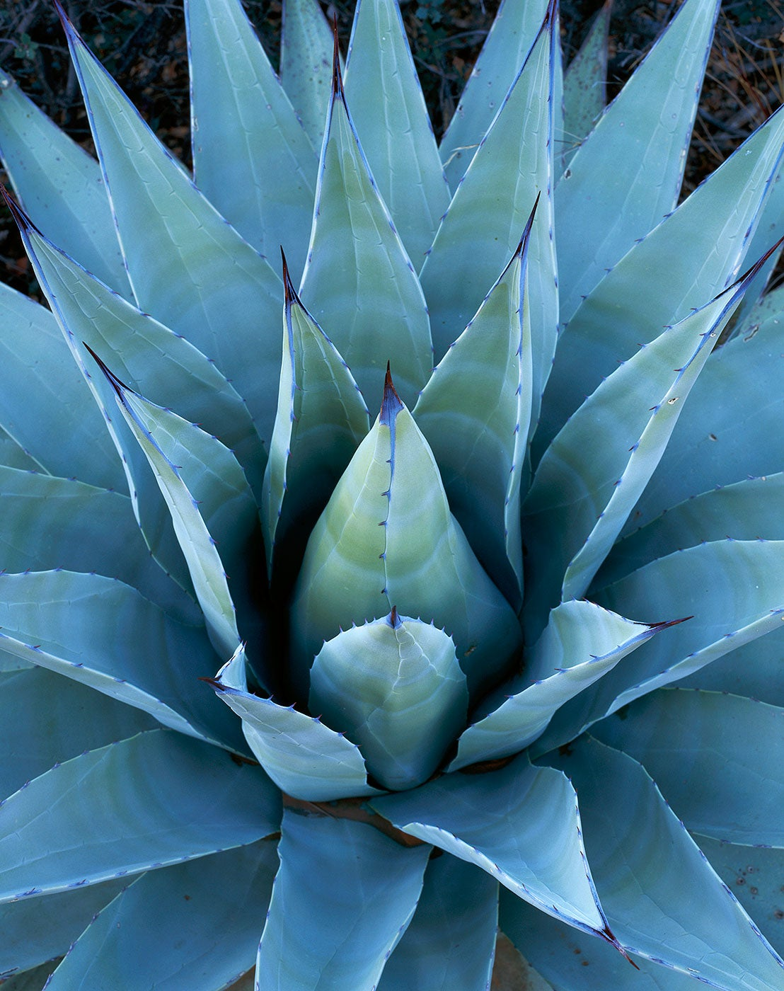 Image of Agave, Red Rock-Secret Mtn. Wilderness, Arizona