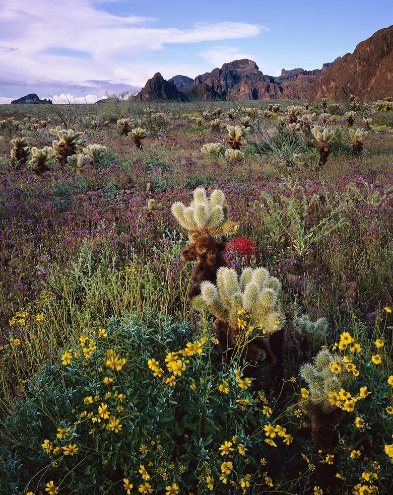 Image of Flowers & Chollas, Kofa National Wildlife Refuge, Arizona