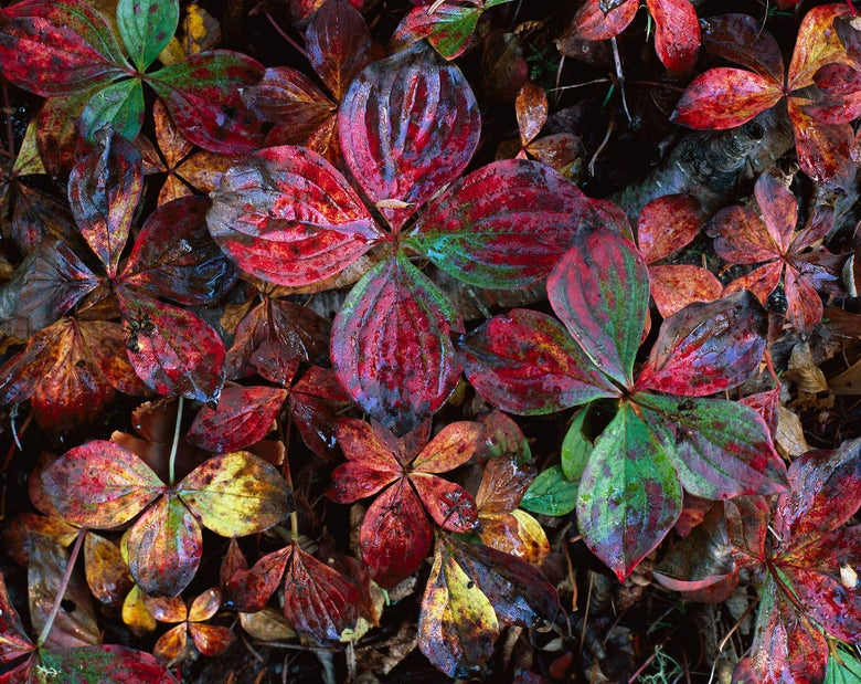 Image of Bunchberry Leaves, Cascade River State Park, Minnesota