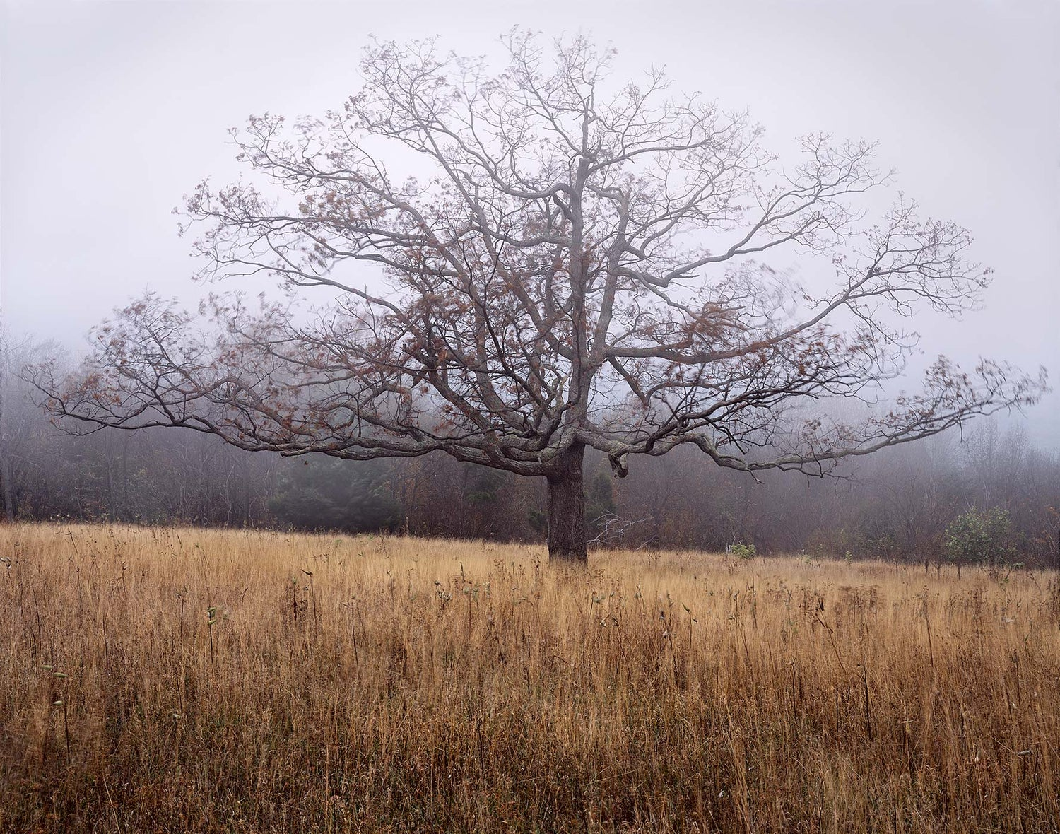 Image of Oak, Blowing Fog, Shenandoah National Park, Virginia