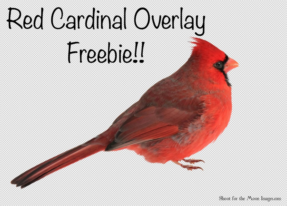 Image of Red Cardinal Overlay FREEBIE