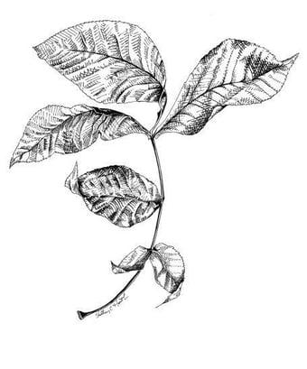 Image of Compound Leaf #1