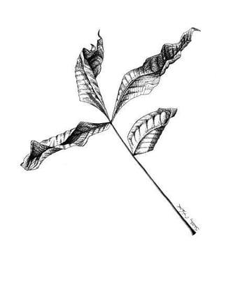 Image of Compound Leaf #2