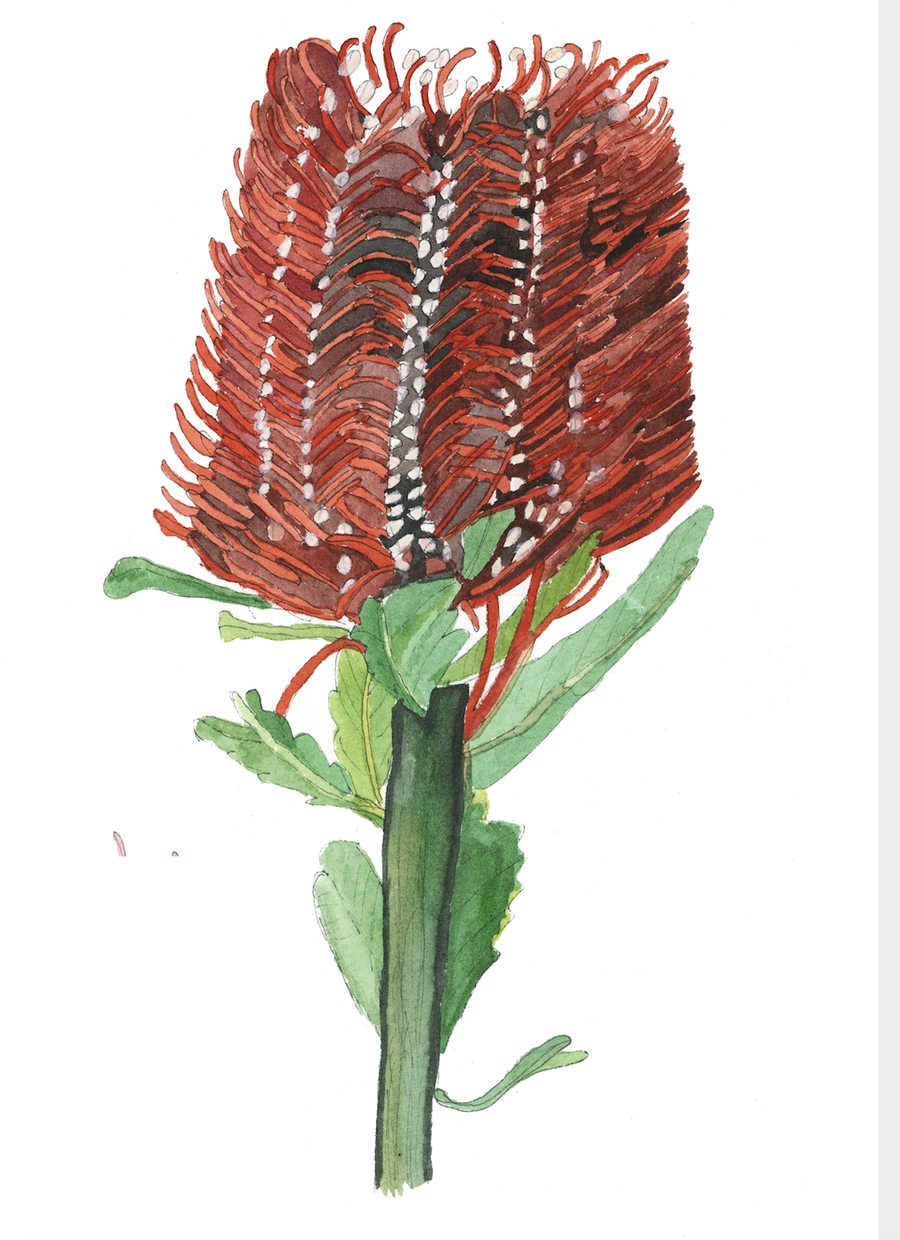 Image of Banksias - A Greeting Card