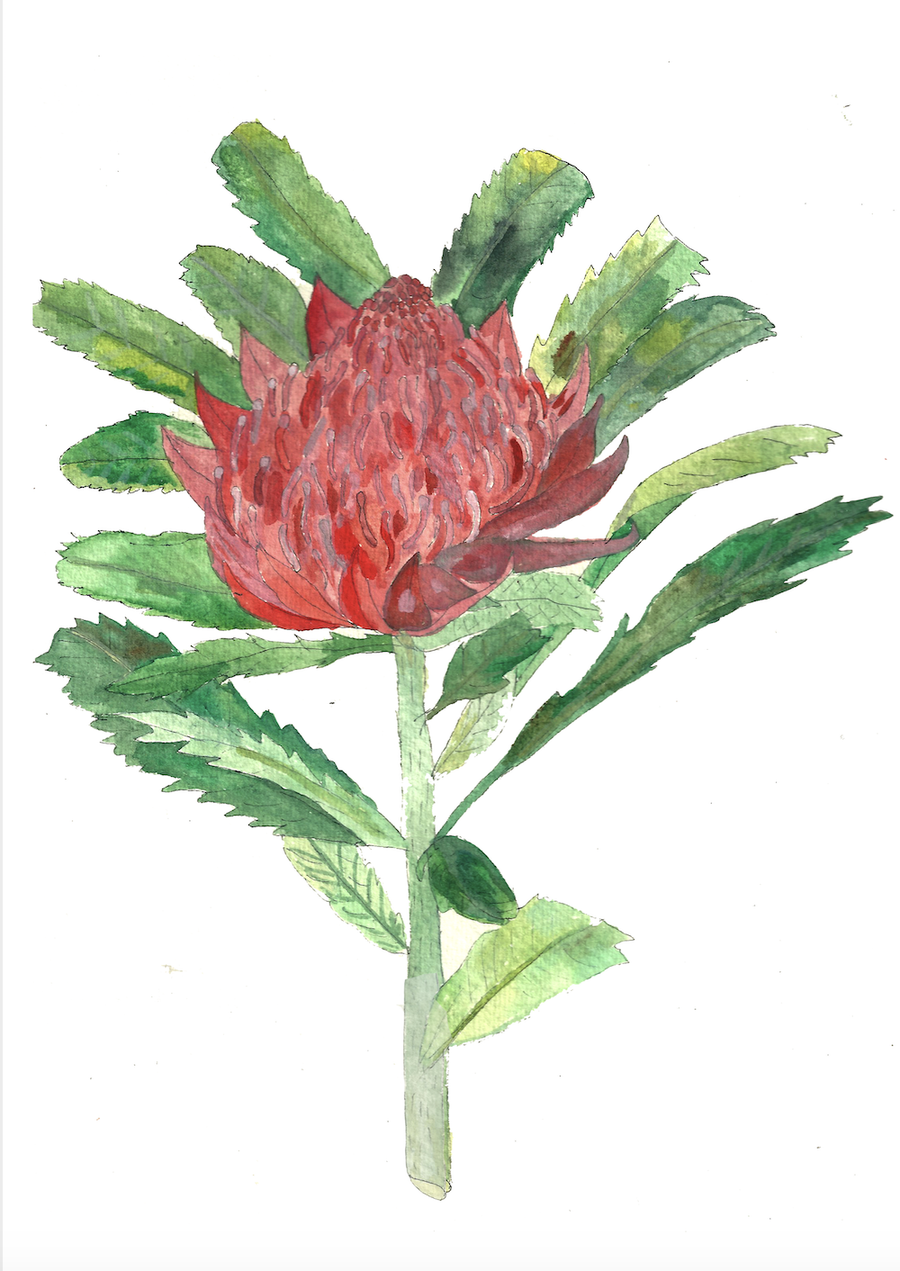 Image of Waratah - A Greeting Card